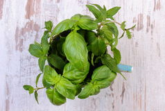 Bunch of fresh mint and basil in cup on old wooden white table Royalty Free Stock Image