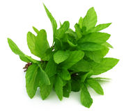 Bunch of fresh mint leaves Stock Photos