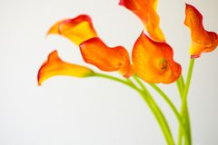 Bunch of fresh orange Calla lilly flowers. With copy space royalty free stock images