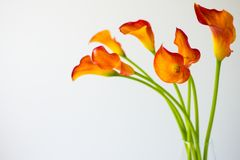Bunch of fresh orange Calla lilly flowers. Bunch of fresh orange Calla lilly flowers with copy space stock photography