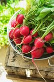 Bunch of Fresh Organic Red Radish with Water Drops in Aluminum Bowl on Weathered Wood Garden Box Herbs Sunlight Clean Eating Stock Photography