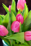 Bunch of fresh pink tulips Stock Photography