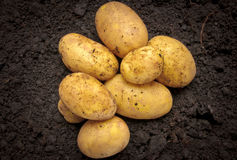 Bunch of fresh potatoes Stock Image