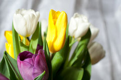 Bunch of fresh purple, yellow and white tulip flowers close up. Soft focus and bokeh. Colorful tulips Stock Image
