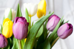Bunch of fresh purple, yellow and white tulip flowers close up. Soft focus and bokeh. Colorful tulips Royalty Free Stock Images