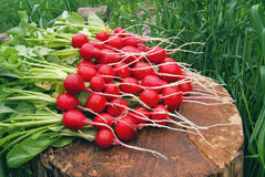 A bunch of fresh radishes from the garden against the background. Of grass Royalty Free Stock Photography
