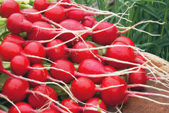 A bunch of fresh radishes from the garden against the background. Of grass Royalty Free Stock Images