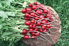 A bunch of fresh radishes from the garden against the background. Of grass Stock Photos