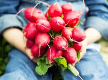 Bunch of fresh radishes in the hands royalty free stock photos
