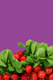 Bunch of fresh radishes. On a purple background Stock Photography