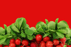 Bunch of fresh radishes. On a red background Stock Image
