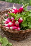 Bunch of radishes in a wicker basket. Bunch of fresh radishes in a wicker basket. Close-up Royalty Free Stock Image