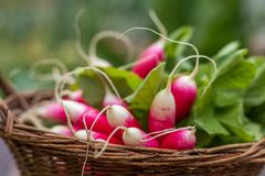 Bunch of radishes in a wicker basket. Bunch of fresh radishes in a wicker basket. Close-up Royalty Free Stock Images