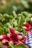 Bunch of fresh radishes in a wooden box outdoors on the table. B. Unch of fresh radishes in a wooden box outdoors on the table Stock Images