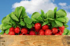 Bunch of fresh radishes. In a wooden crate against a blue sky with clouds Royalty Free Stock Image