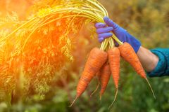 Bunch of fresh raw carrots in the hand outdoors closeup in sunlight. Hand holding bunch of fresh carrots from the garden outdoor closeup in sunlight Royalty Free Stock Photos
