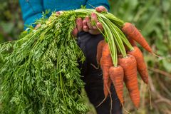 Bunch of fresh raw carrots in the hands of the farmer outdoors closeup. Bunch of fresh raw carrots in the hands Stock Photography