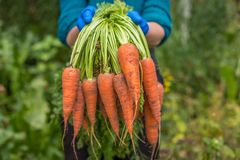 Bunch of fresh raw carrots in the hands of the farmer outdoors closeup. Bunch of fresh raw carrots in the hands Stock Photo