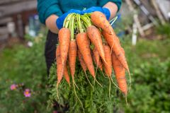 Bunch of fresh raw carrots in the hands of the farmer outdoors closeup. Harvest of fresh carrots in a garden Stock Image