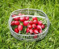 Bunch of fresh red garden radish in a basket in the. Garden on the grass Stock Photography