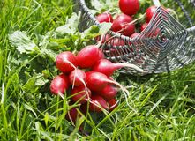 Bunch of fresh red garden radish in a basket in the. Garden on the grass Stock Image