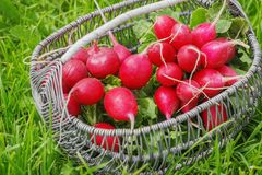 Bunch of fresh red garden radish in a basket in the. Garden on the grass Stock Photo