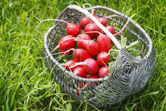 Bunch of fresh red garden radish in a basket in the. Garden on the grass Stock Images