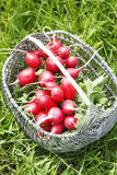 Bunch of fresh red garden radish in a basket in the Royalty Free Stock Photography