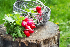 Bunch of fresh red garden radish in a basket on the stump Stock Photography