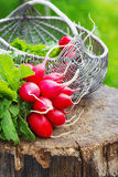 Bunch of fresh red garden radish in a basket on the stump Royalty Free Stock Image