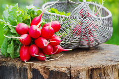 Bunch of fresh red garden radish in a basket on the stump Royalty Free Stock Photos