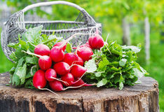 Bunch of fresh red garden radish in a basket on the stump Stock Images