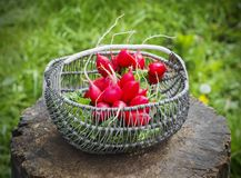 Bunch of fresh red garden radish in a basket on the stump. In the garden Stock Photo