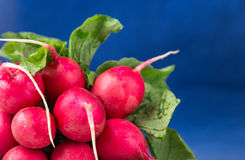 Bunch of fresh red radish on blue background. Bunch of fresh radish on blue background Royalty Free Stock Photo