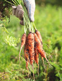 Bunch of fresh ripe carrots. In a hand in a summer garden Stock Photo