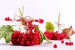 Bunch of fresh ripe organic viburnum berries on white background. Ingredients for vitamin beverage stock photo