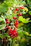 Bunch of fresh ripe red currant berry Stock Photos