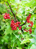 Bunch of fresh ripe red currant berry Stock Photography