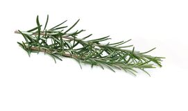 Bunch of fresh rosemary Royalty Free Stock Images