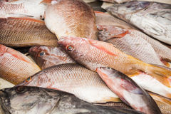 Bunch of fresh snapper on the market. Costa Ecuador Stock Photos