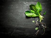 Bunch of fresh sorrel with clothespins. On the black wooden table Stock Photography