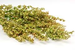 Bunch of fresh sorrel. Fresh sorrel on white background Stock Images
