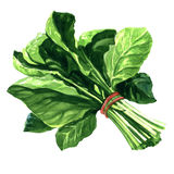 Bunch of fresh spinach leaves on isolated white background Stock Photo