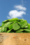 bunch of fresh spinach leaves Royalty Free Stock Image