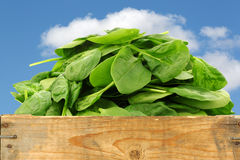 Bunch of fresh spinach leaves Royalty Free Stock Images