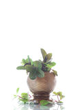 A bunch of fresh spring mint in a wooden vase Stock Photography