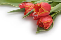 Bunch of fresh tulips Royalty Free Stock Image