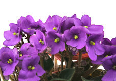 Bunch of fresh violets on white Stock Photography