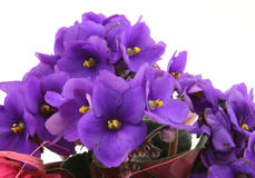 Bunch of fresh violets on white Royalty Free Stock Images