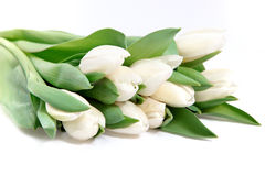 Bunch of fresh white tulips Royalty Free Stock Photo
